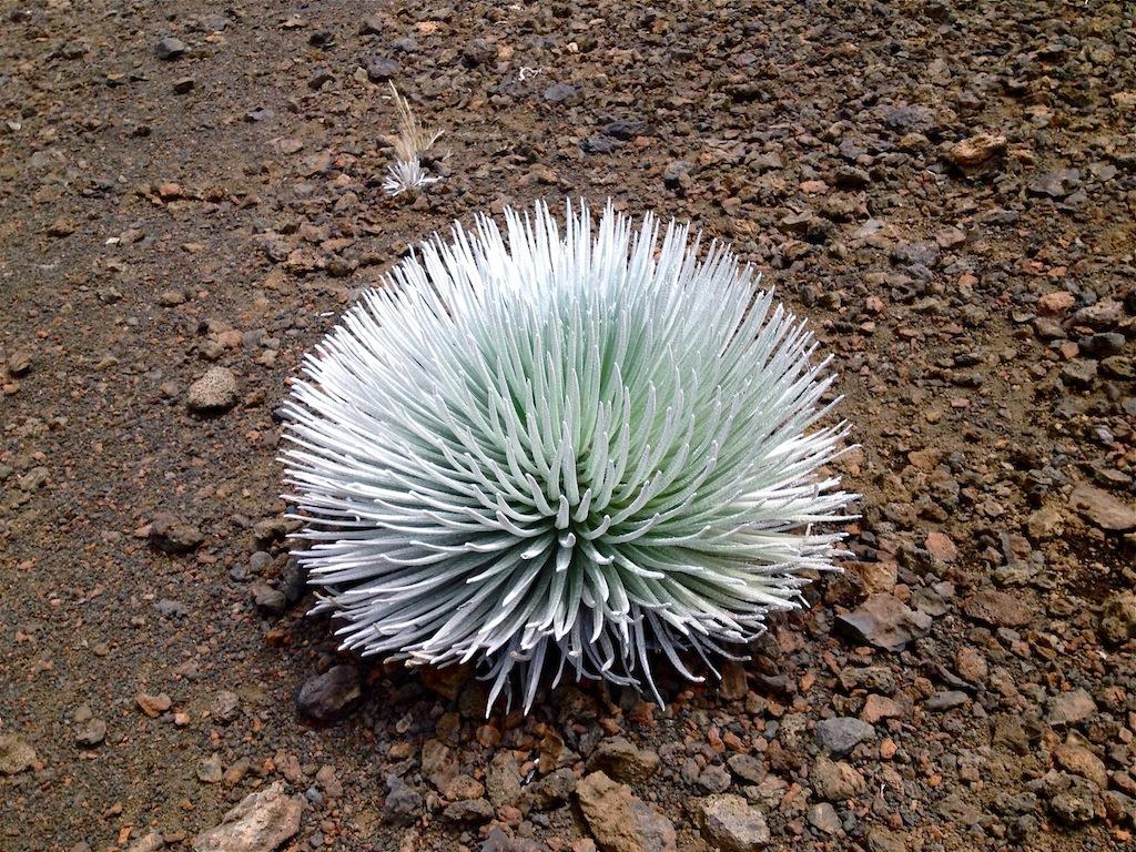 Silversword, Silberschwert. Die Pflanze wächst nur im Haleakala Krater auf Maui