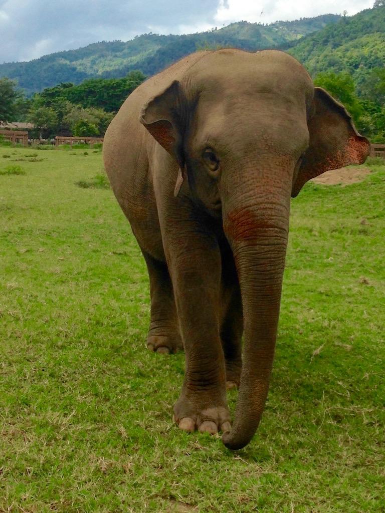 Elefant im Elephant Nature Park, Chiang Mai, Thailand