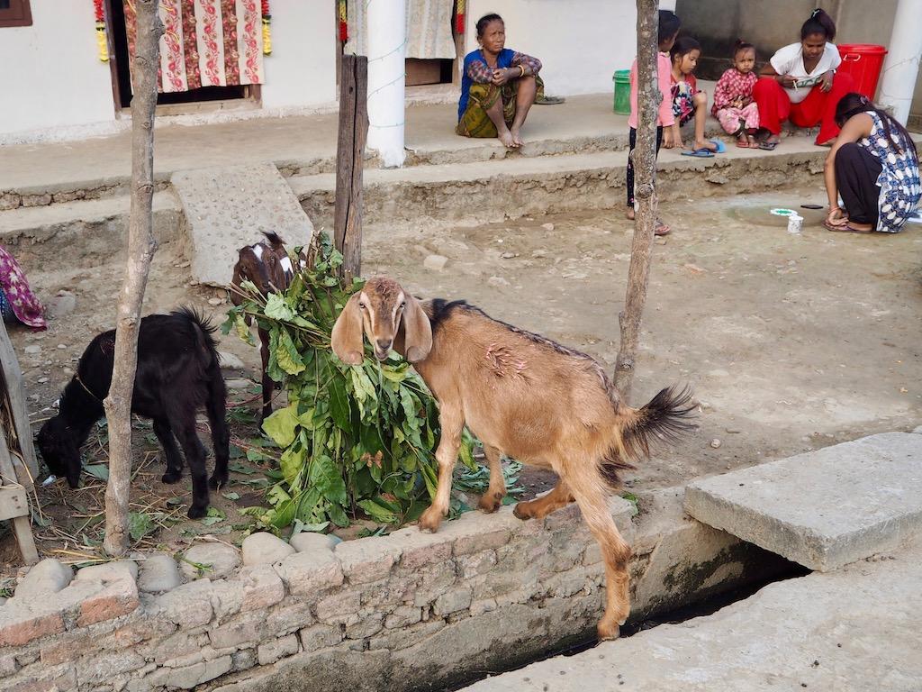 Ziege im Tharu-Dorf im Chitwan Nationalpark
