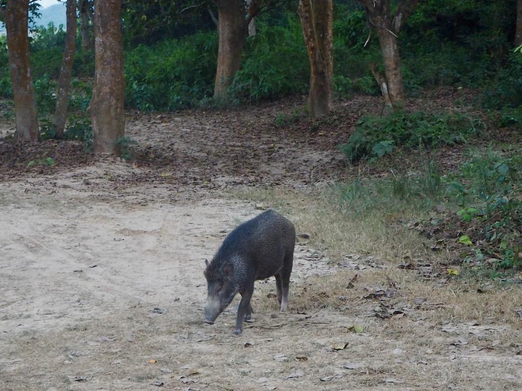 Im Sünden Nepals gibt es auch Wildschweine