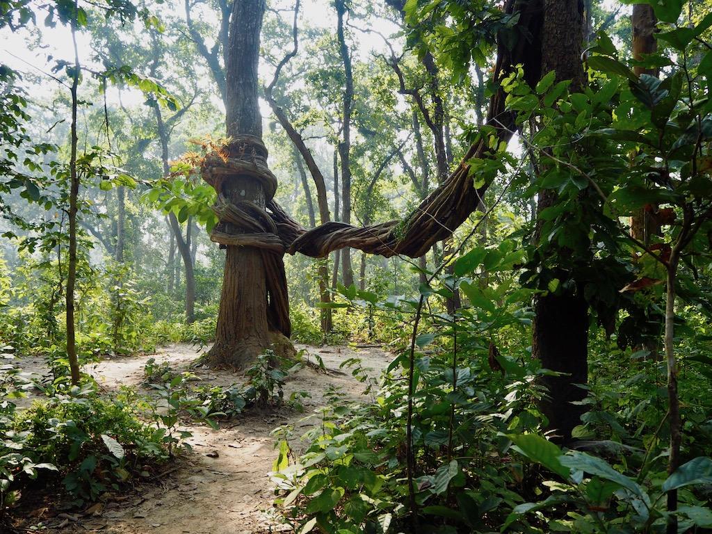 Schlingpflanzen im Chitwan Nationalpark