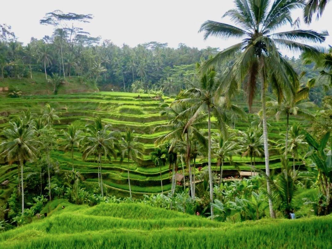 Das Schönste an Ubud? Die Reisterrassen rundherum